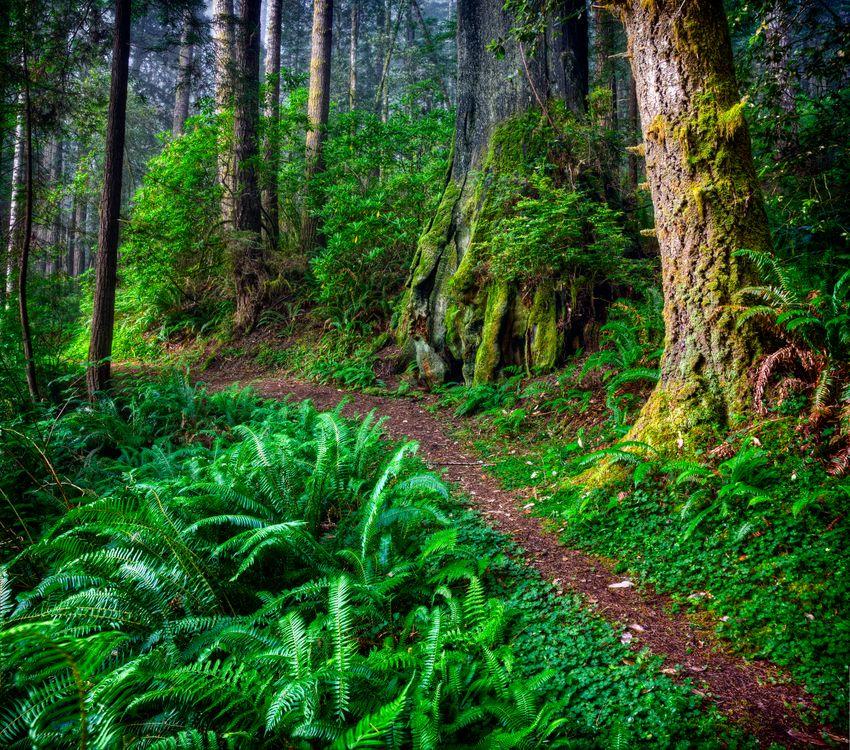 Фото бесплатно Redwood National Park, Mill Creek State Park, лес, деревья, тропинка, пейзаж, пейзажи