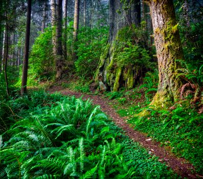 Фото бесплатно Redwood National Park, Mill Creek State Park, лес