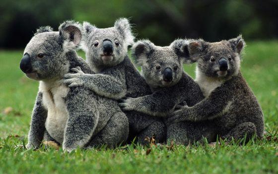 Фото бесплатно коалы, семья, трава