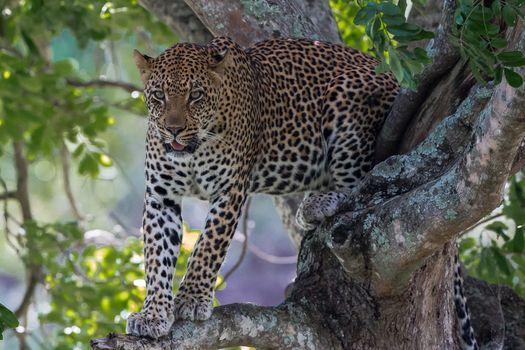 Африканский леопард · бесплатное фото