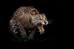 Красивые обои леопард, животное