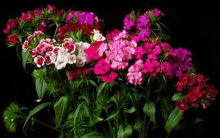 Заставки гвоздики, цветы, чёрный фон