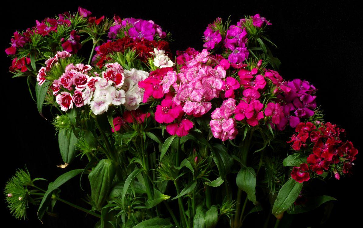 Фото бесплатно гвоздики, цветы, чёрный фон - на рабочий стол
