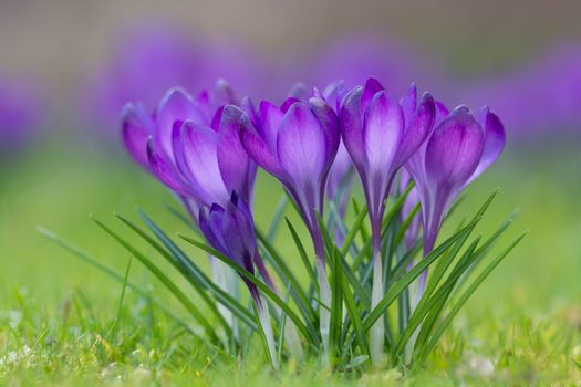 Photo free Crocus, The Crocus, saffron