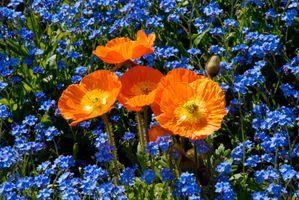 Photo free poppies, field, flora