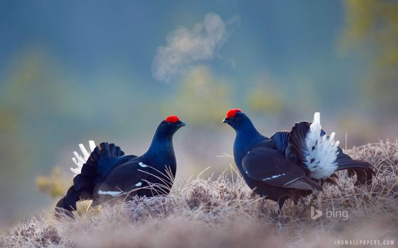 Photo free black grouse, two birds, grass