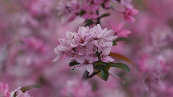 Заставки цветущая ветка,sakura,Cherry Blossoms,ветка,цветы,флора,весна