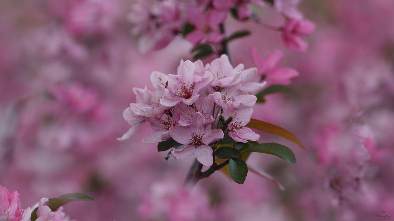 Обои цветущая ветка, sakura, Cherry Blossoms, ветка, цветы, флора, весна, цветение на телефон | картинки цветы