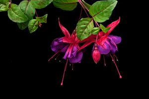 Фото бесплатно растение, Fuchsia gracilis, изящная