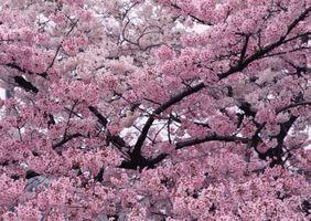 Фото бесплатно природа, весна, дерево, ветки, вишня, сакура