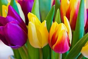 Photo free tulips, tulip, flowers