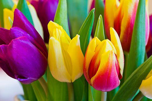 Картинка цветы, тюльпаны на телефон