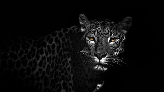 Photo free the old leopard, look, eyes