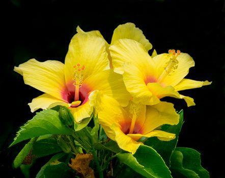 Фото бесплатно Hibiscus, цветок, цветы