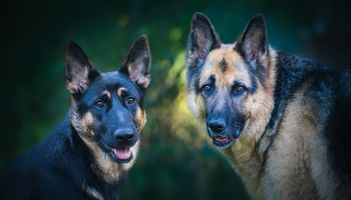 Photo free German shepherd, dog, snout