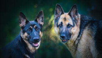 Фото бесплатно немецкая овчарка, собаки, собака