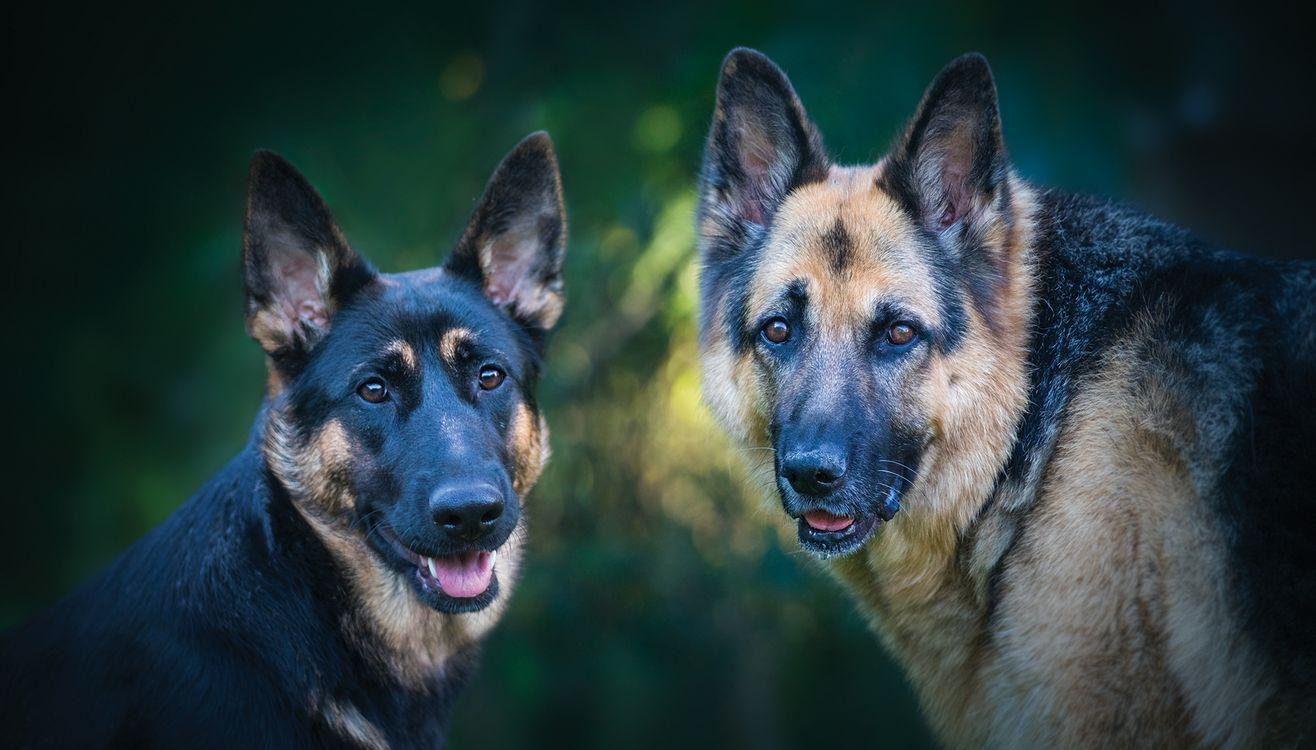 Обои немецкая овчарка, собаки, собака картинки на телефон