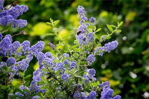 Фото бесплатно фиолетовые цветы, сирень, растение