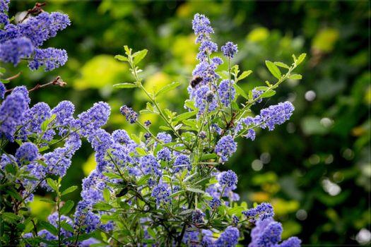 Заставки фиолетовые цветы, сирень, растение