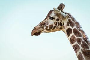 Фото бесплатно млекопитающее, жираф, шея