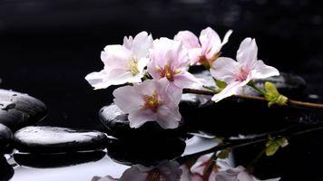 Бесплатные фото природа,цветы,камни,cvety,vetka,kamni,voda