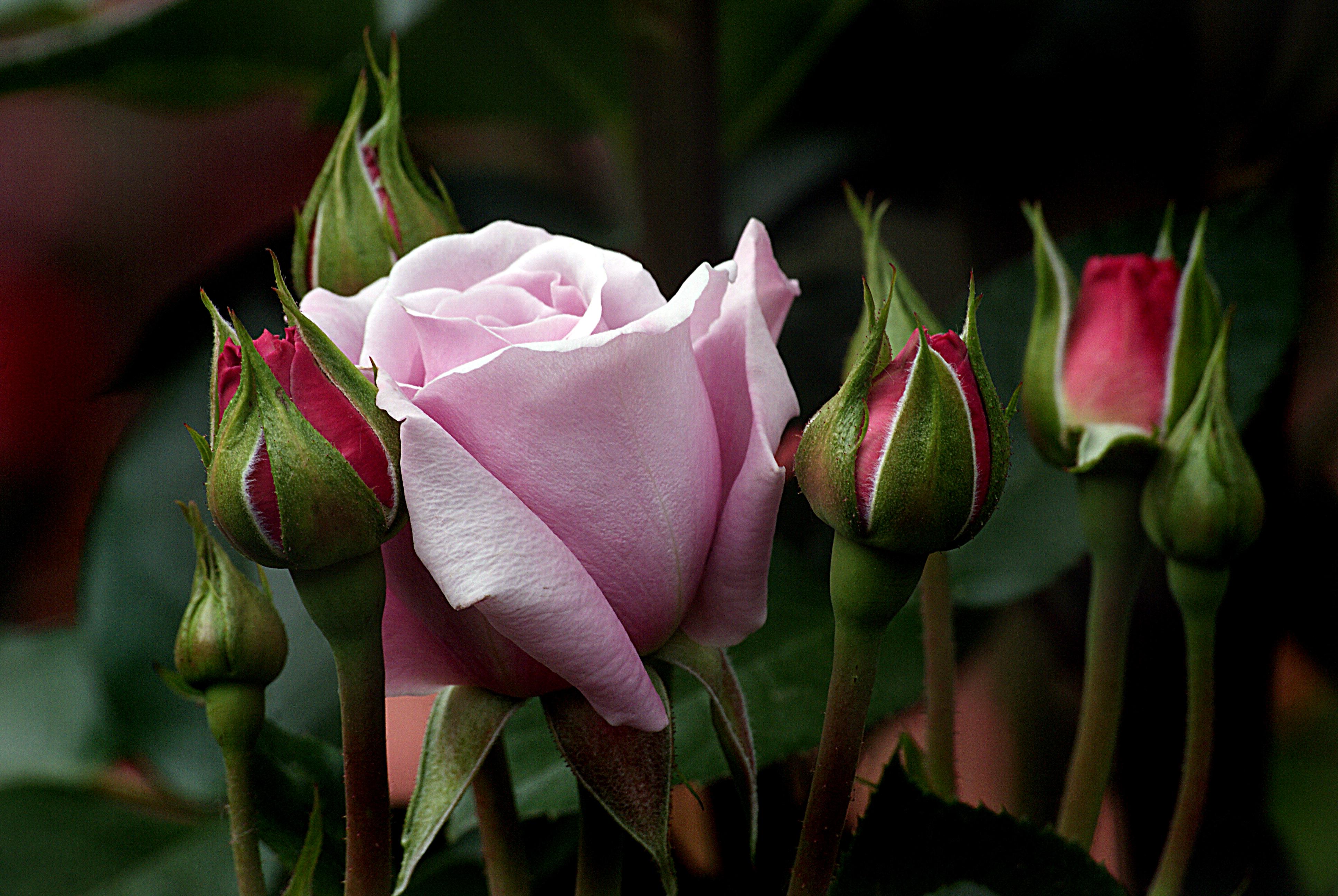 муцураев изысканная роза картинки уже поднадоевших карт