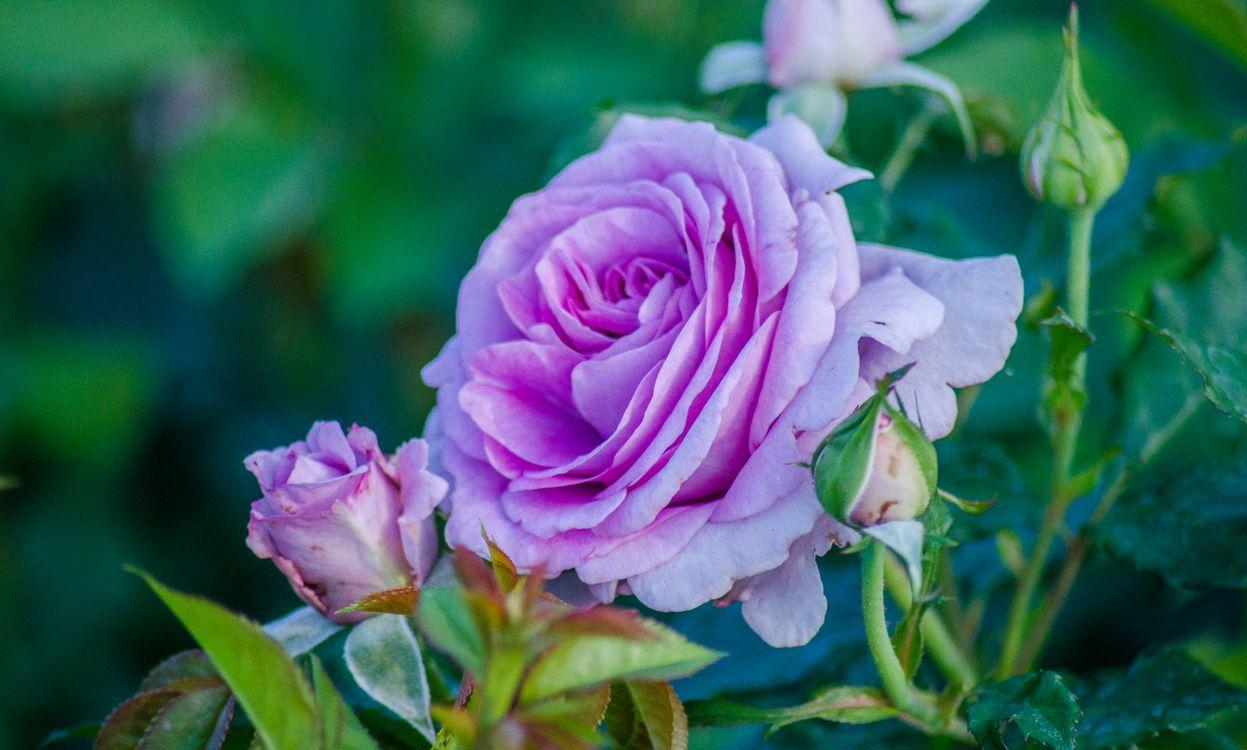 Скачать фотографию роза, розы