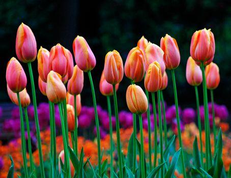 Розовые тюльпаны · бесплатное фото