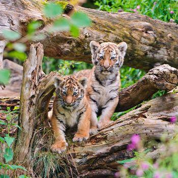 Два тигренка в свержении дерева · бесплатное фото