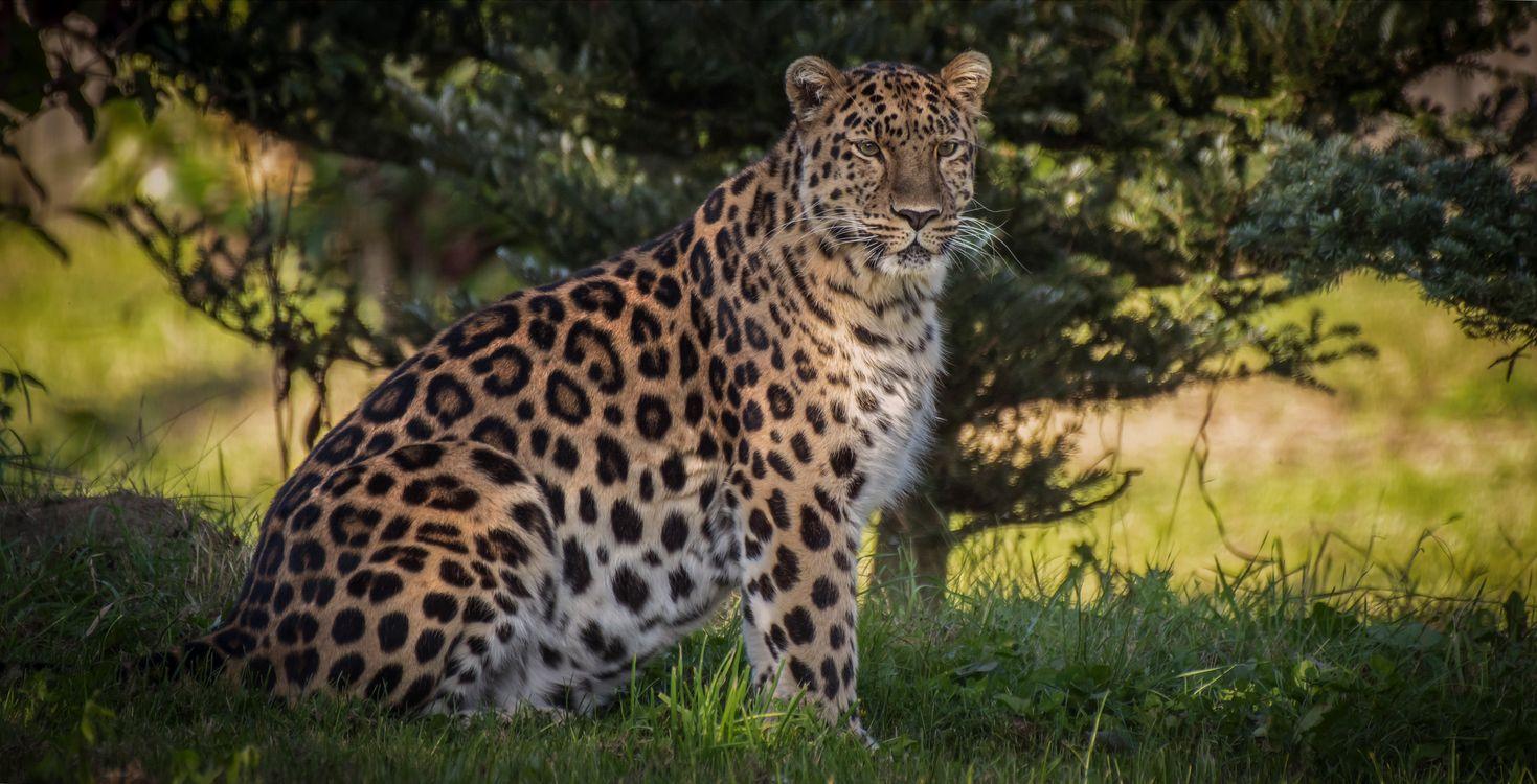 Фото бесплатно Amur leopard, большая кошка, зверь - на рабочий стол