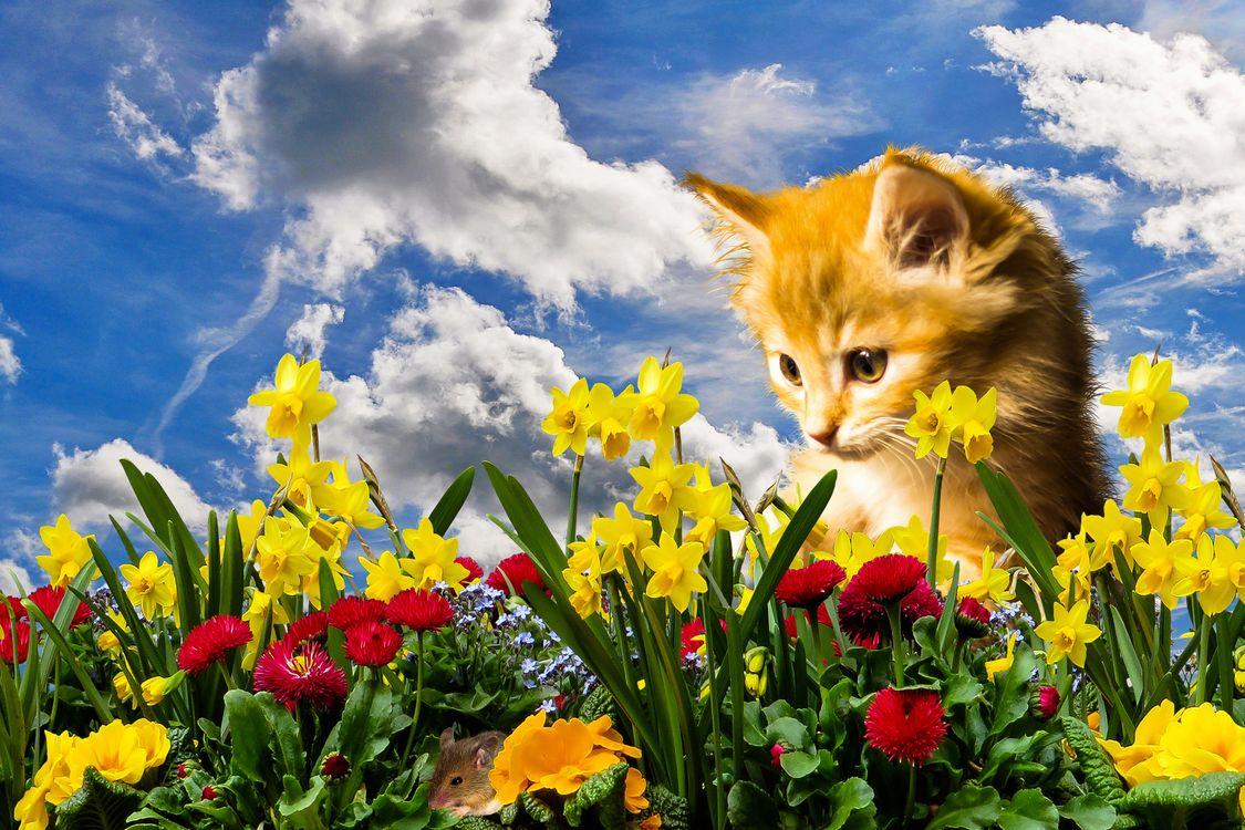 Фото бесплатно кошка, мышка, поле, цветы, нарциссы, котёнок, небо, облака, природа, фотошоп, кошки