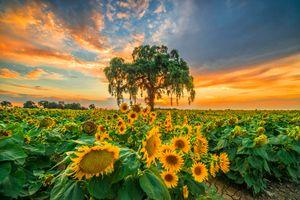 Бесплатные фото закат солнца,поле,цветы,подсолнухи,дерево,небо,природа