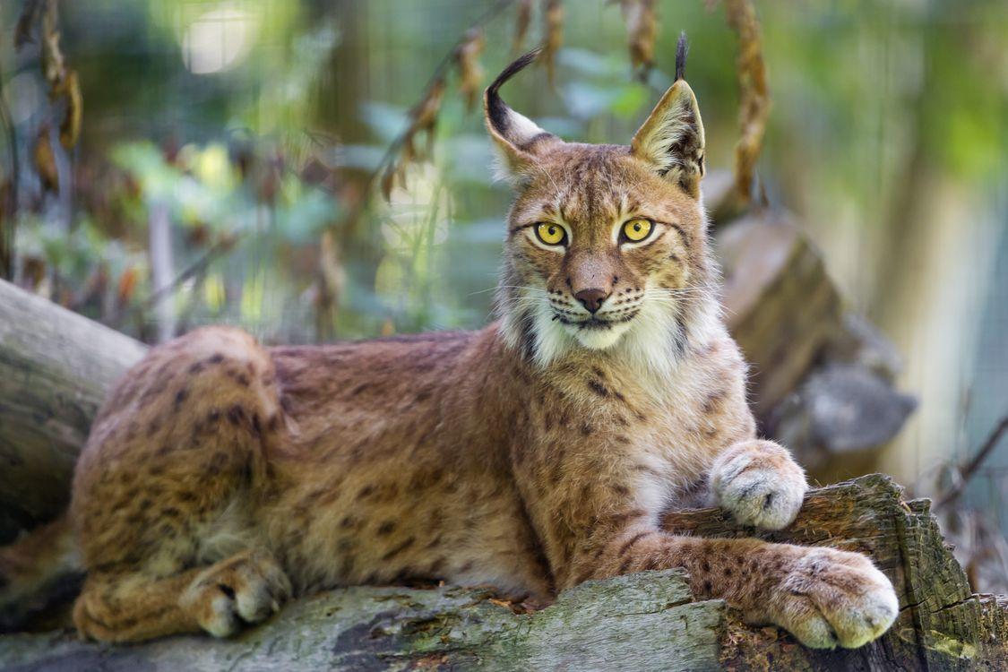 Фото бесплатно животные, дикая природа, природа, рысь, кошки