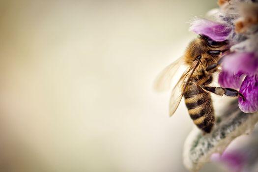 Фото бесплатно пчела, опыление, цветок