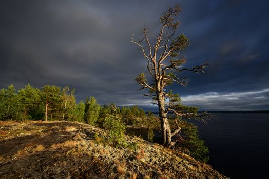 Lonely pine tree and overcast sky · free photo