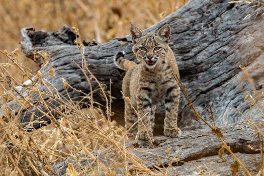 Photo free predator, Lynx lynx, big cat