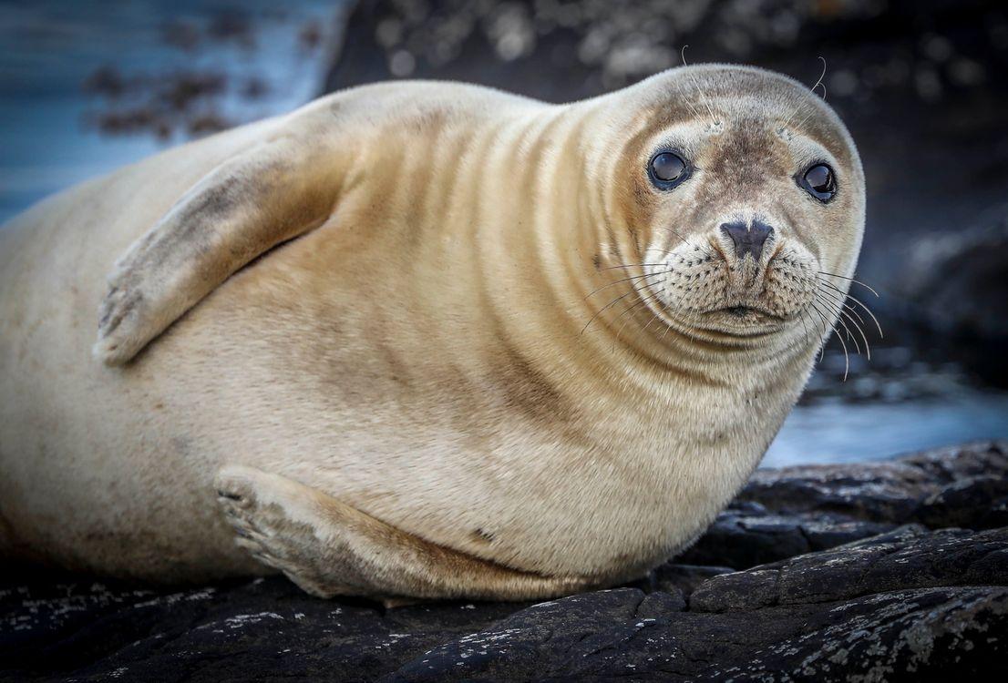 Обои тюлень, seal, North-East Coast картинки на телефон