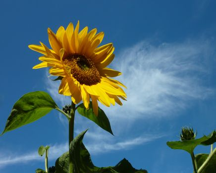 Фото бесплатно подсолнухи, флора, подсолнух