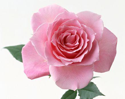 Free rose pink - beautiful photo