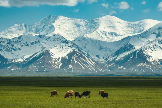 Пасущиеся овечки в долине Чон-Алай