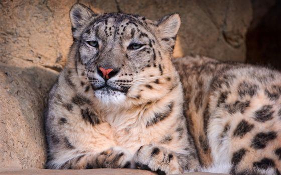 Photo free Snow Leopard, leopard, snow leopard