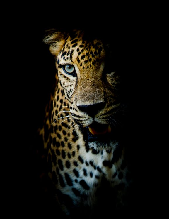 Скачать бесплатно портрет леопарда, леопард заставку