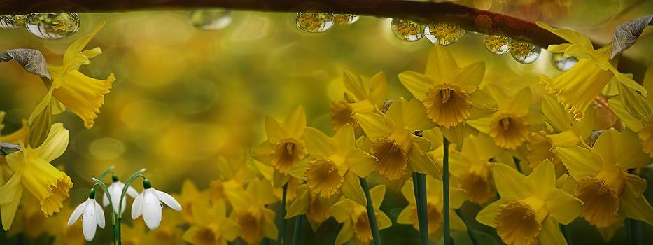 Фото бесплатно нарциссы, цветок, цветы