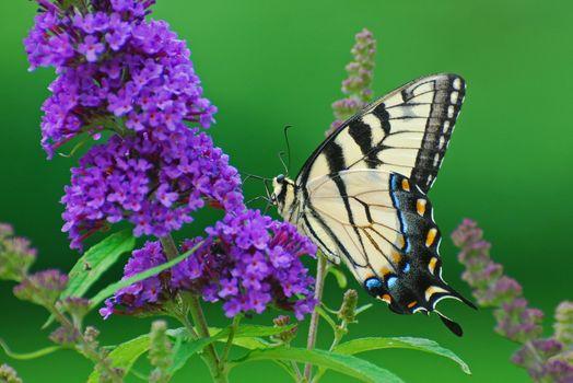 Скачать бабочку