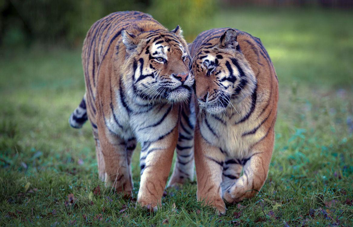 Популяция амурских тигров · бесплатное фото
