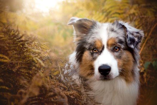 Photo free Aussies, pet, dog