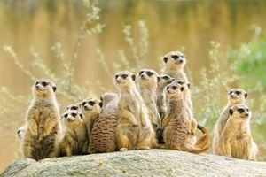 Заставки meerkat, семейство, suricate