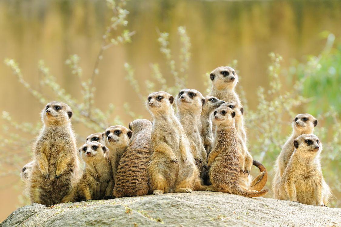 Фото бесплатно meerkat, семейство, suricate - на рабочий стол