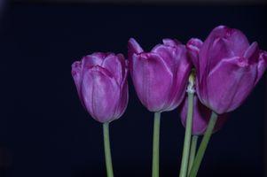 Заставки тюльпаны, черный, фон