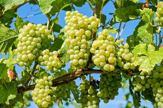 Фото бесплатно ветки, листья, виноград